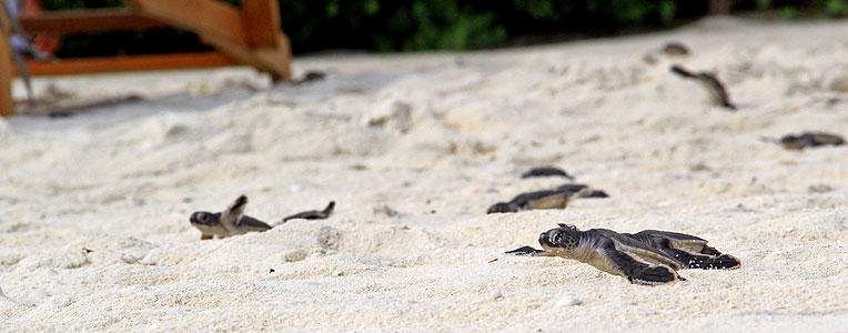 Velassaru, Maldives Welcomes 124 Green Sea Turtles