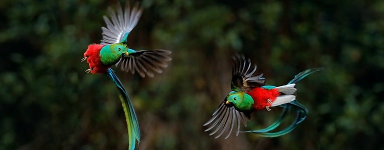 Quetzals in Costa Rica