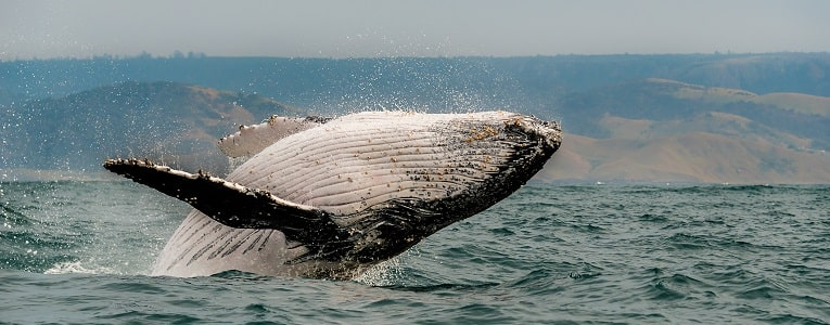 Humpback Whale in South Africa