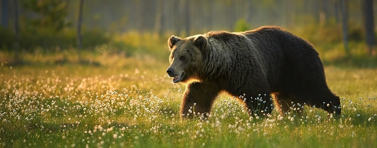 Brown bear Canada