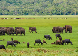 SriLankanElephants