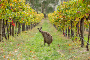 4nts Adelaide & 4 Day Epicurean Way Self Drive Tour