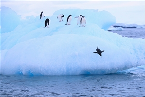 Adelie Penguins - click to expand