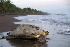 Tortuguero National Park - click to expand