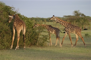 7 Day Kenya with Sarova