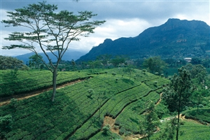 Tea Plantation - click to expand