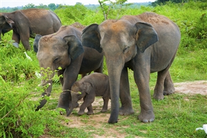 Family of Elephants - click to expand