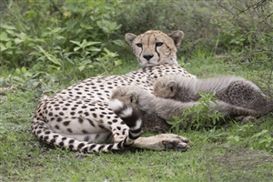 Leopard and Baby - click to expand